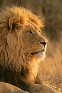 100380-big-male-african-lion